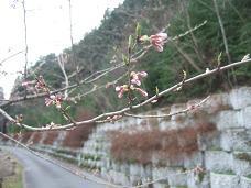 4・4桜.JPG